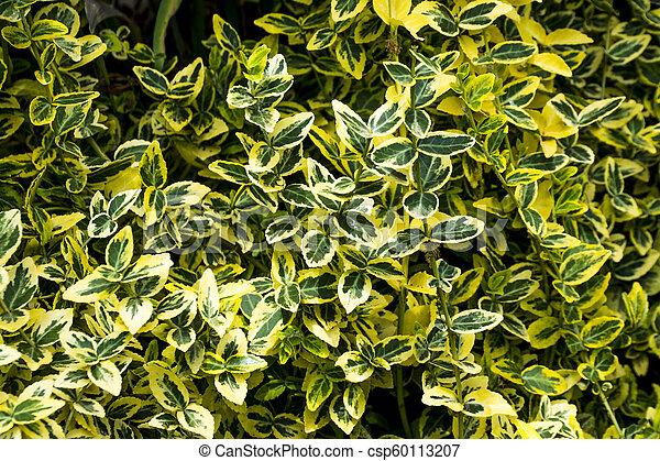Verde deja arbusto - csp60113207