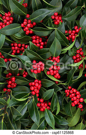 Holly Bush With Red Berries Winter And Christmas Holly With Red