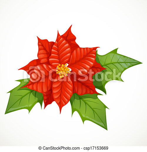 holly flower isolated on white background holly flower