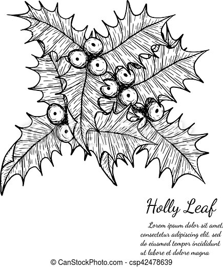 holly leaf sketch by hand drawing - csp42478639