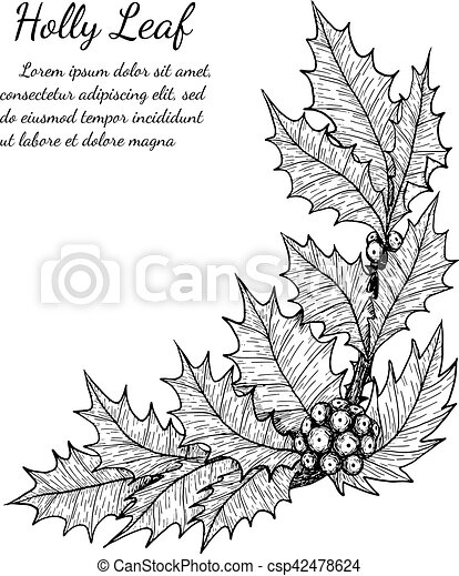 holly leaf sketch by hand drawing. - csp42478624