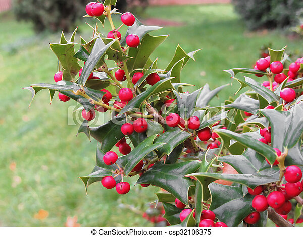 Holly tree branch with red berries - csp32106375