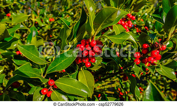Holly Tree With Lots Of Red Berries With Good Light Morning Shot
