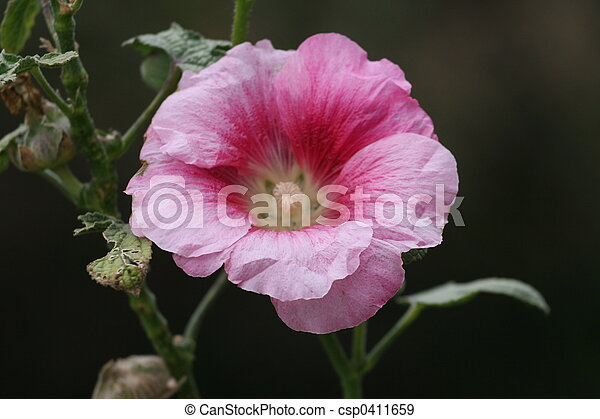 Hollyhock Bloom - csp0411659