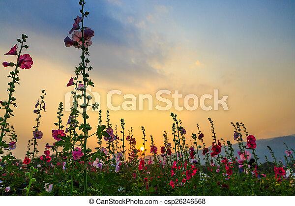 hollyhock flower garden with sunset sky - csp26246568