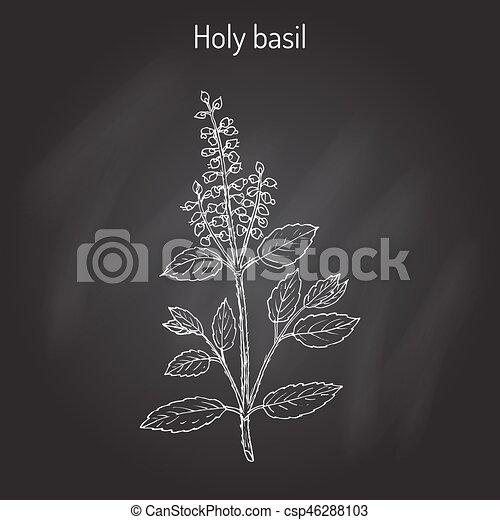 Holy Basil Ocimum tenuiflorum , or tulasi - csp46288103