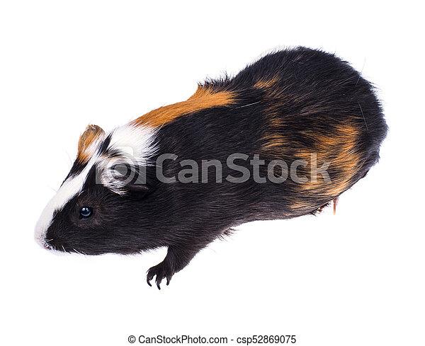 Home guinea pig on white - csp52869075