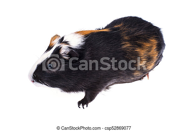 Home guinea pig on white - csp52869077
