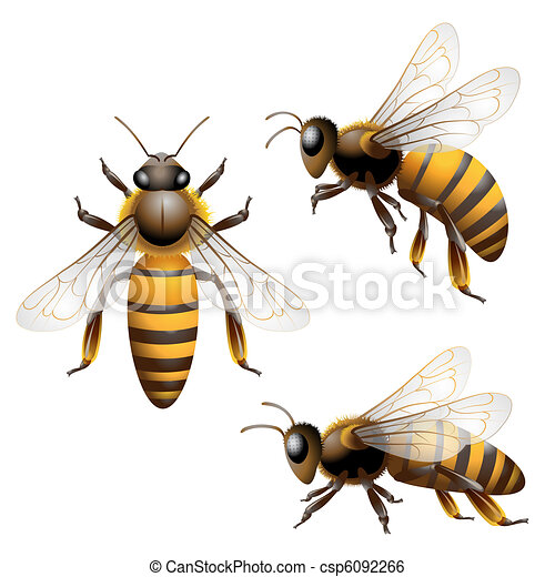 Honey Bee Isolated On White Clip Art Vector