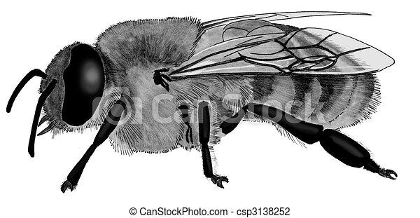 Line Art Bee : Honey bee apis mellifera drone clip art search illustration