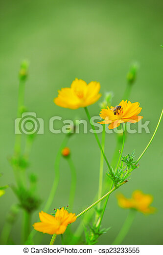 Honey bee on yellow cosmos flowers with blurry background use as honey bee on yellow cosmos flowers with blurry background use as csp23233555 mightylinksfo