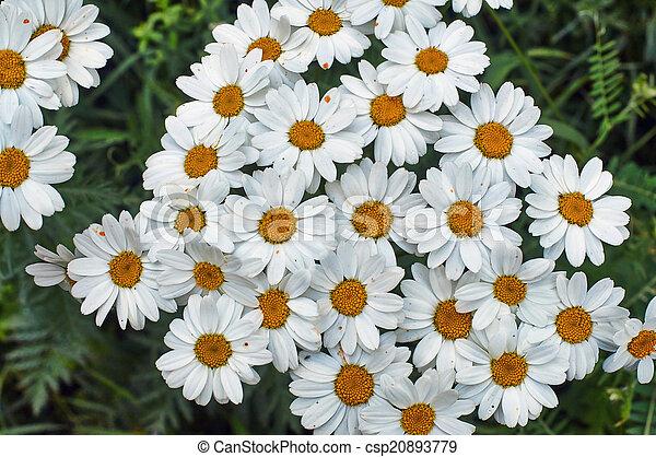 Honey daisies. - csp20893779