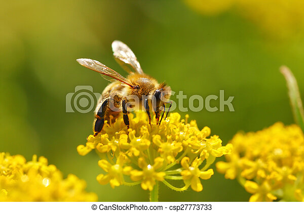 Honeybee harvesting pollen from blooming flowers - csp27773733
