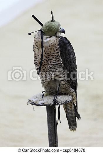 Hooded falcon at an Arabian Camp in Doha, Qatar
