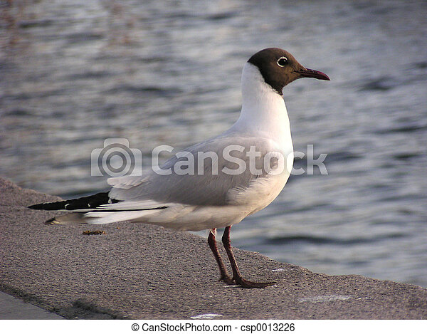 Hooded Gull (Norway - csp0013226