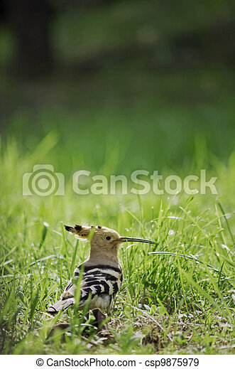 hoopoe in the grass - csp9875979