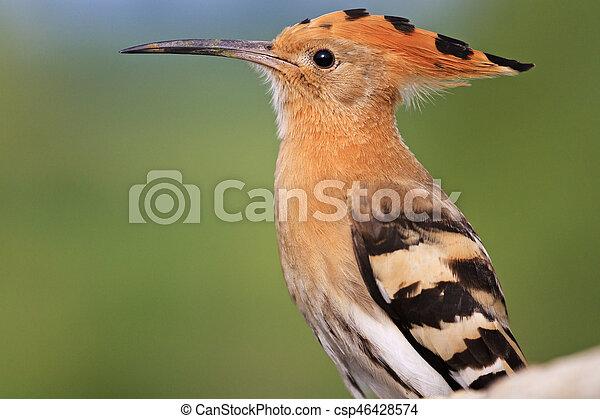 hoopoe long beak portrait wildlife bird