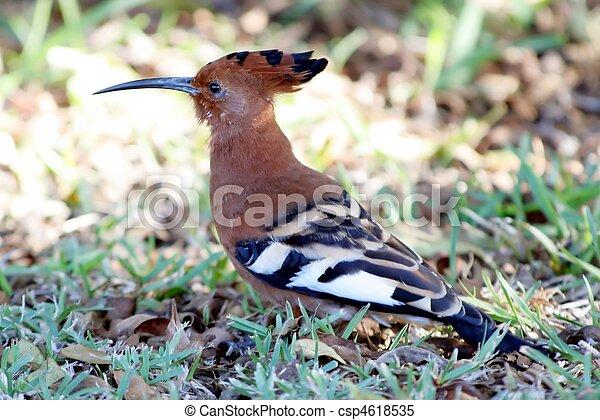 hoopoe vogel hoopoe langer schnabel gebogen vogel boden