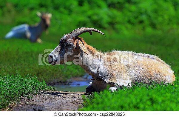 horned goat - csp22843025