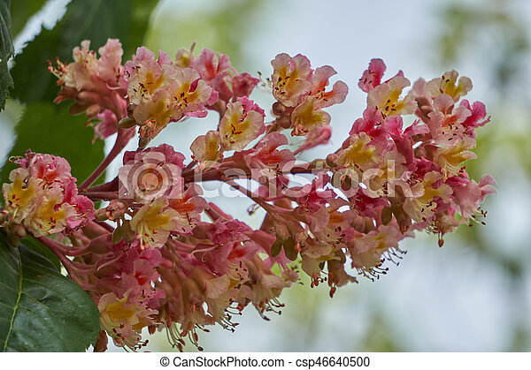 Horse chestnut pink in bloom horse chestnut pink in bloom csp46640500 mightylinksfo