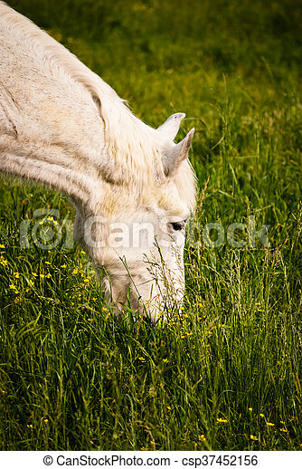 Horse grazing; closeup - csp37452156