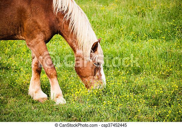 Horse grazing; closeup - csp37452445