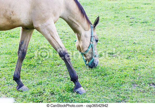 Horse grazing - csp36542942