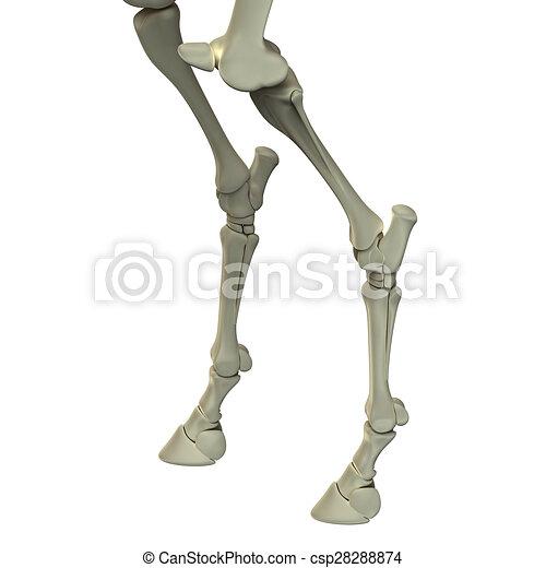 Horse hind leg bones - horse equus anatomy - isolated on white.