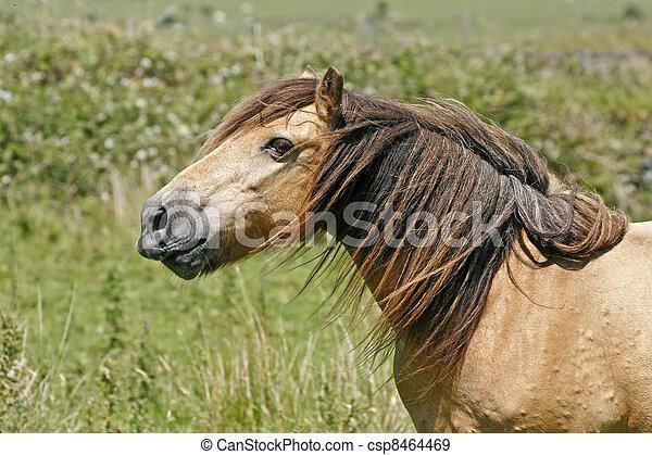 Horse in Bodmin Moor, Cornwall, UK - csp8464469