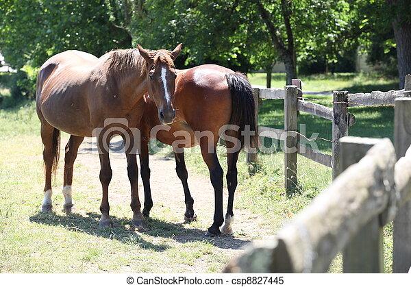 horses., deux - csp8827445