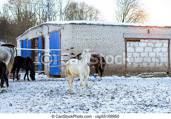 Horses graze on snow-covered farm in winter Ropsha - csp55169950