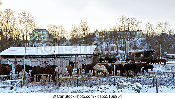 Horses graze on snow-covered farm in winter Ropsha - csp55169954