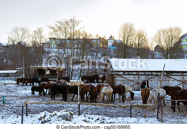 Horses graze on snow-covered farm in winter Ropsha - csp55169955
