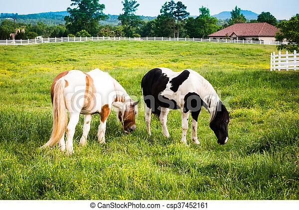 Horses grazing - csp37452161