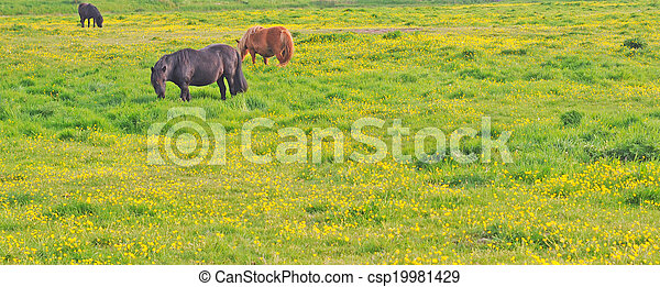 horses in meadow with buttercups - csp19981429