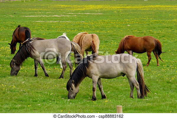 Horses on a grass field in Iceland during summer - csp88883162