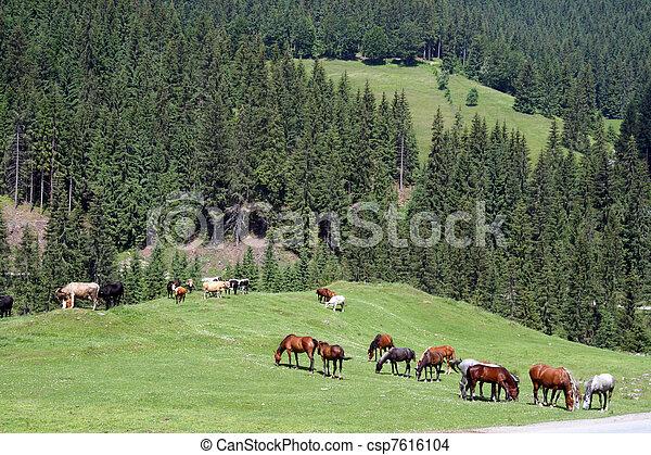 Horses on the pasture - csp7616104