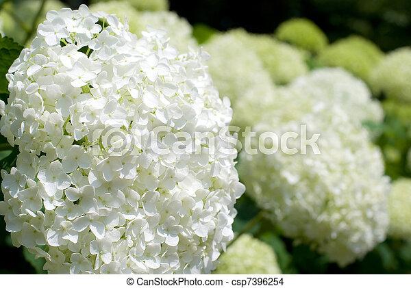 fleur hortensia annabelle entiers blanc fleur photo de stock rechercher photographies et. Black Bedroom Furniture Sets. Home Design Ideas