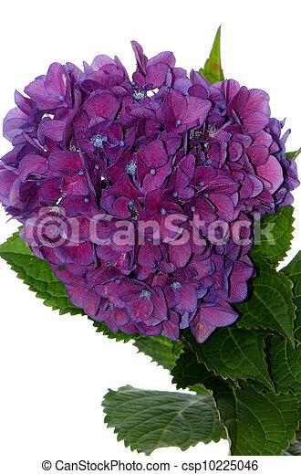 hortensia, lacecap, (macrophylla, normalis) - csp10225046