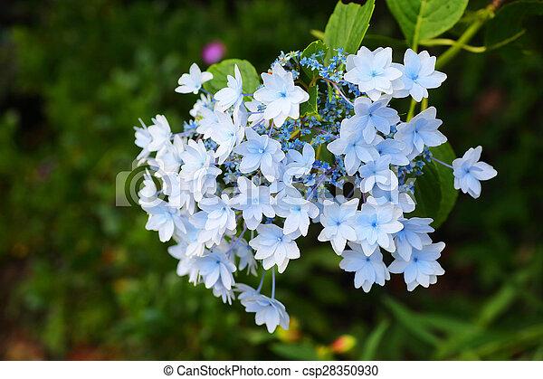 hortensia, lacecap - csp28350930