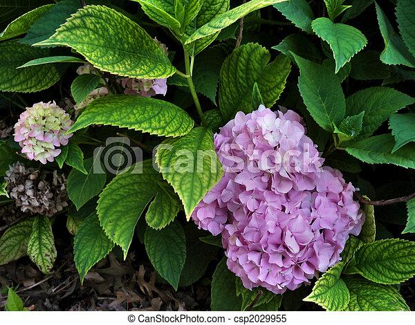 hortensia, pourpre - csp2029955