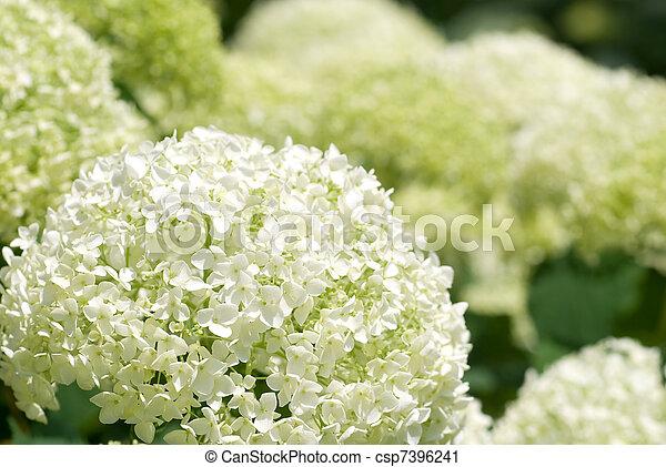 Hortensie Annabell blume hortensie annabelle voll weißes blüte stockfotografie