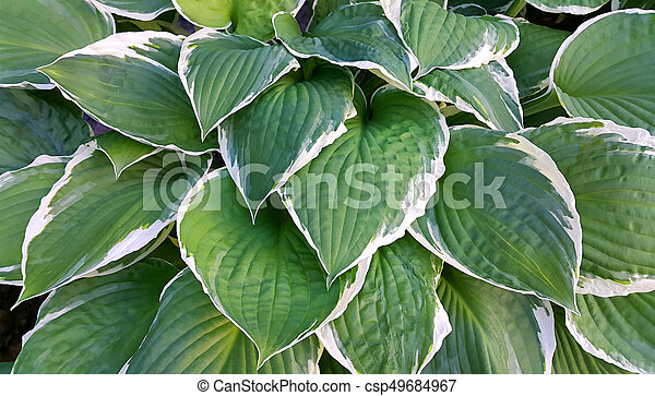 Hosta Leaves Background Beautiful Bright Green And White Leaves Of