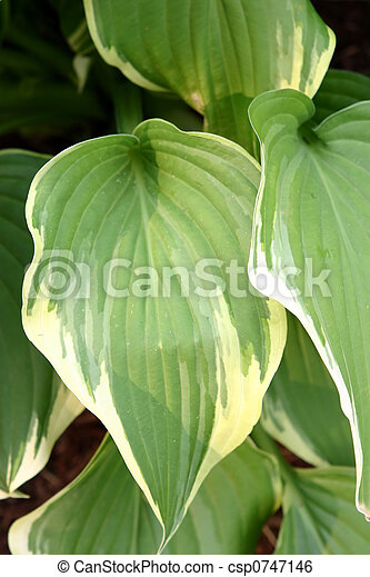 Hosta Leaves Closeup Detail Of A Green And White Leafed Hosta Plant