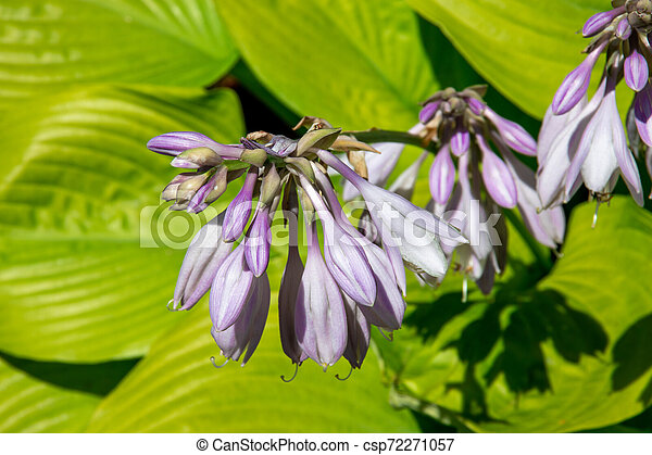 Hosta Sum and Substance plant in the garden - csp72271057