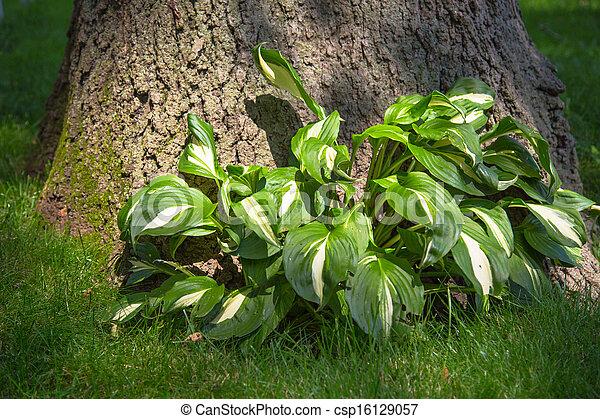 Hostas Plant Leafy Hostas Plant Under A Shady Tree