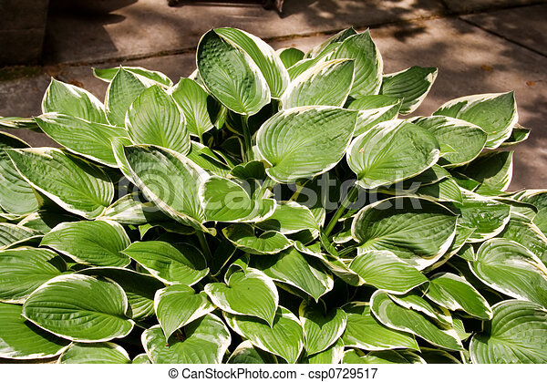 Green And White Hostas Growing In Pots In The Sunlight