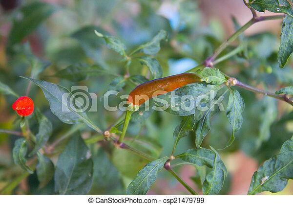 hot long pepper on tree in garden - csp21479799