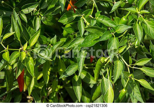 hot pepper plant bush in garden - csp21821306