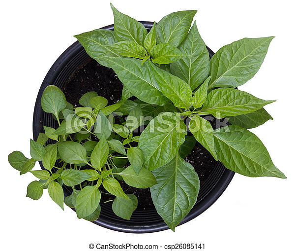 hot pepper potted plants - csp26085141
